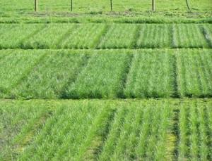 Ryegrass picture